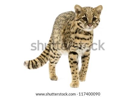 Geoffroy's cat stalking toward viewer  on white background.