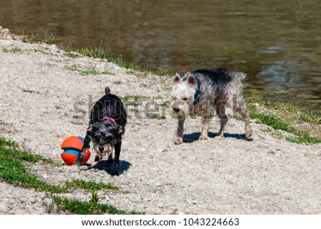 Georgetown, Texas / USA - 3/11/18: Two wire haired dogs playing with their ball on the river bank.