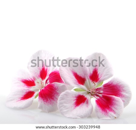 Geranium Flowers - stock photo