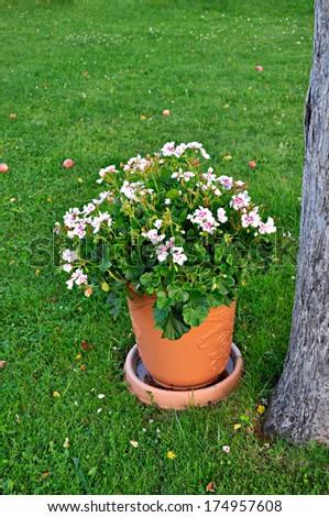 Geranium in flowerpot - stock photo