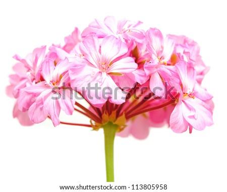 geranium isolated on white background - stock photo