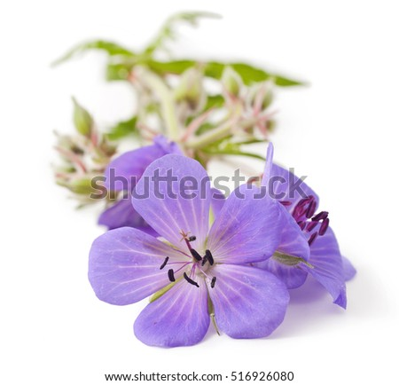 Geranium ( johnson's blue) flower isolated on a white background