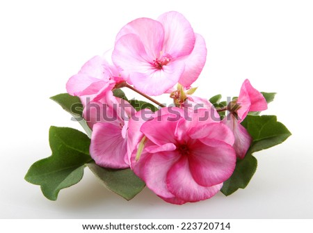 Geranium Pelargonium Flowers - stock photo