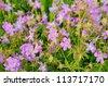 Geranium pratense flowers in a meadow - stock photo