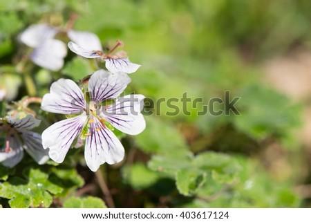 Geranium renardii plant with flowers - stock photo