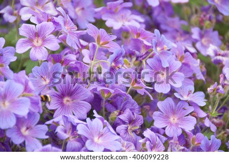 geraniums flowering in an english summer garden with honey bee's collecting pollen - stock photo