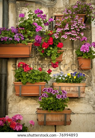 geraniums in pots on the wall