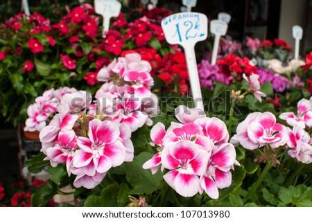 Geraniums on sale in a parisian flower shop - stock photo
