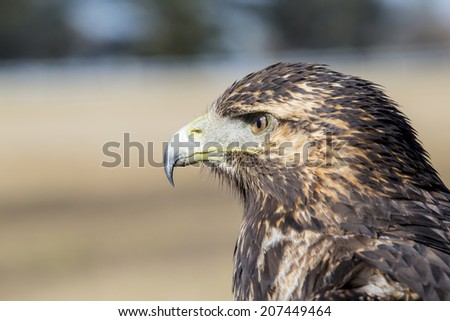 Geranoaetus melanoleucus, young bird of prey, black chested eagle hawk. - stock photo