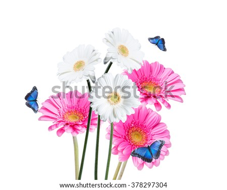 Gerber Daisy, and butterfly isolated on white background - stock photo