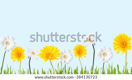 Gerber Daisy and grass, isolated on blue background