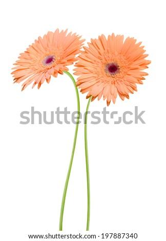 Gerber daisy blooming - stock photo