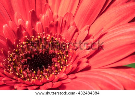 Gerber daisy close up with natural sunlight.
