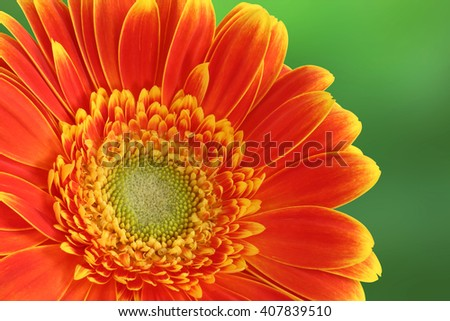 Gerber daisy flower on green background - yellow and orange tint - macro flower background - stock photo