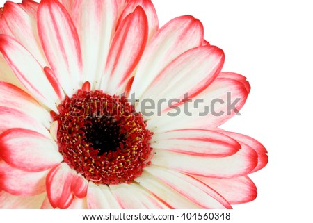 Gerber daisy flower on white background - white, pink and red tint - macro flower background - stock photo
