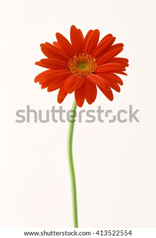 Gerber Flower - stock photo