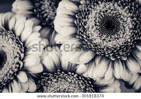 gerber flowers  black and white image - stock photo