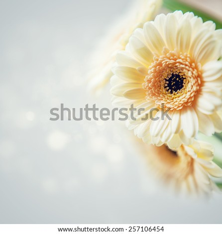 Gerbera background - stock photo