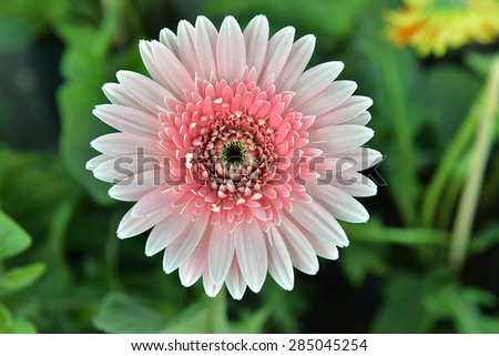 gerbera bloom with pink petals from close. The picture is taken in a Dutch nursery specialized in the cultivation of Gerbera cut flowers. - stock photo