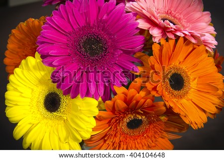 gerbera brightly colored flowers on a dark background