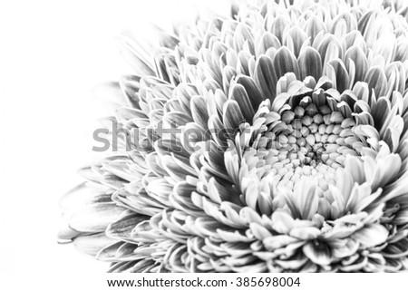 Gerbera, close-up, macro, monochrome, black-and-white. - stock photo