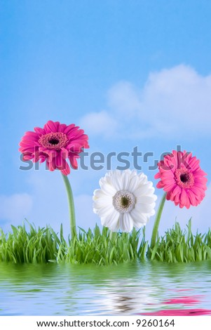 gerbera daisies by the water - stock photo