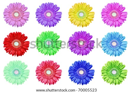 Gerbera daisies in different colors on a pure white background with space for text - stock photo