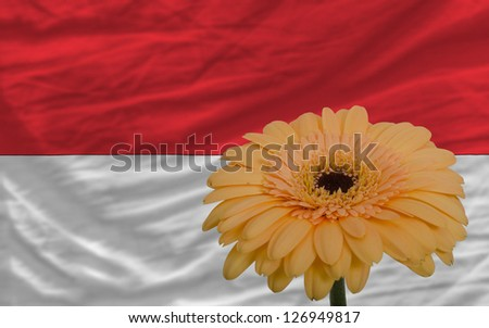 gerbera daisy flower and national flag of indonesia as concept and symbol of love, beauty, innocence, and positive emotions