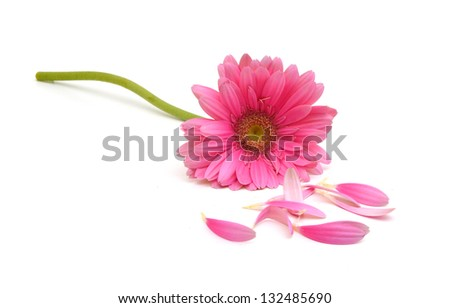 Gerbera daisy flower and petals on white background - stock photo