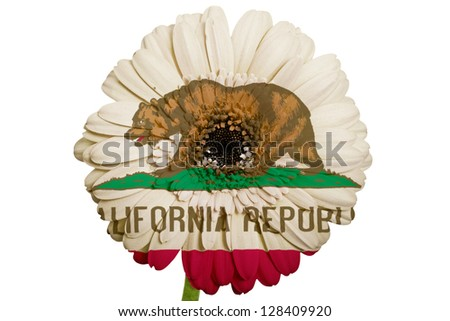 gerbera daisy flower in colors flag of us state of california on white background as concept and symbol of love, beauty, innocence, and positive emotions - stock photo