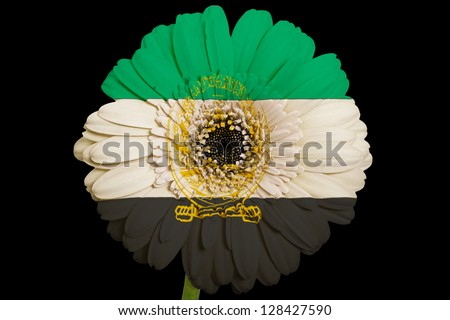 gerbera daisy flower in colors national flag of afghanistan on black background as concept and symbol of love, beauty, innocence, and positive emotions - stock photo