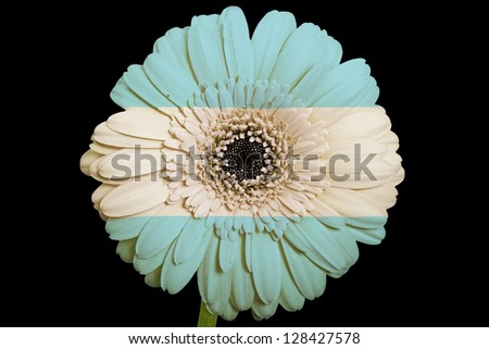 gerbera daisy flower in colors national flag of argentina on black background as concept and symbol of love, beauty, innocence, and positive emotions