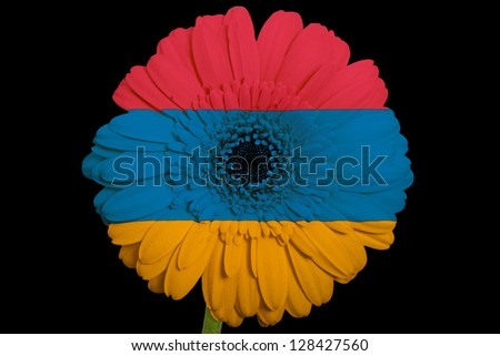 gerbera daisy flower in colors national flag of armenia on black background as concept and symbol of love, beauty, innocence, and positive emotions - stock photo
