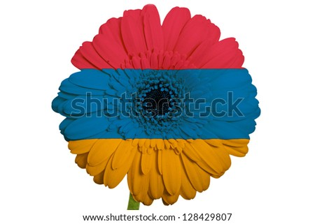 gerbera daisy flower in colors national flag of armenia on white background as concept and symbol of love, beauty, innocence, and positive emotions