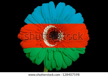 gerbera daisy flower in colors national flag of azerbaijan on black background as concept and symbol of love, beauty, innocence, and positive emotions