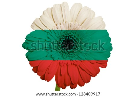 gerbera daisy flower in colors national flag of bulgaria on white background as concept and symbol of love, beauty, innocence, and positive emotions