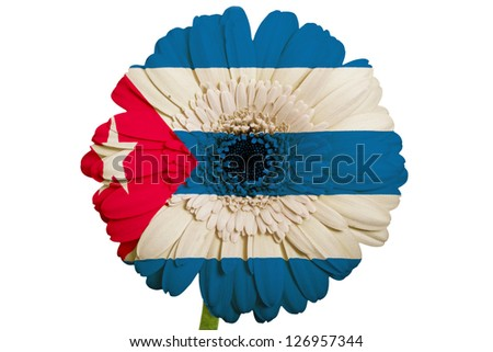 gerbera daisy flower in colors national flag of cuba on white background as concept and symbol of love, beauty, innocence, and positive emotions - stock photo