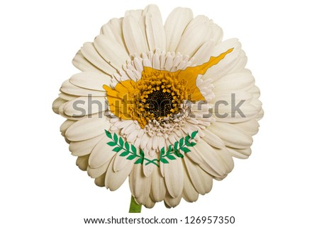 gerbera daisy flower in colors national flag of cyprus on white background as concept and symbol of love, beauty, innocence, and positive emotions - stock photo