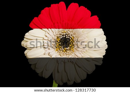 gerbera daisy flower in colors national flag of egypt on black background as concept and symbol of love, beauty, innocence, and positive emotions - stock photo