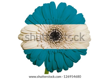 gerbera daisy flower in colors national flag of el salvador on white background as concept and symbol of love, beauty, innocence, and positive emotions - stock photo