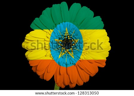 gerbera daisy flower in colors national flag of ethiopia on black background as concept and symbol of love, beauty, innocence, and positive emotions - stock photo