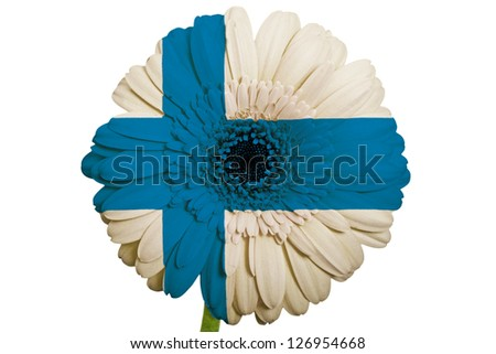 gerbera daisy flower in colors national flag of finland on white background as concept and symbol of love, beauty, innocence, and positive emotions - stock photo