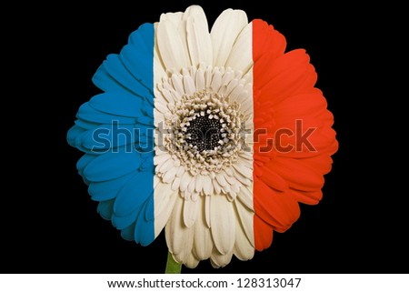 gerbera daisy flower in colors national flag of france on black background as concept and symbol of love, beauty, innocence, and positive emotions