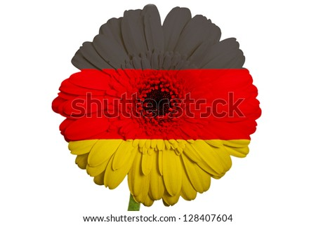 gerbera daisy flower in colors national flag of germany on white background as concept and symbol of love, beauty, innocence, and positive emotions - stock photo