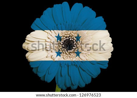 gerbera daisy flower in colors national flag of honduras on black background as concept and symbol of love, beauty, innocence, and positive emotions