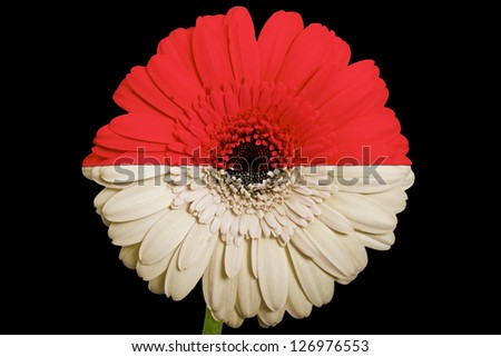 gerbera daisy flower in colors national flag of indonesia on black background as concept and symbol of love, beauty, innocence, and positive emotions