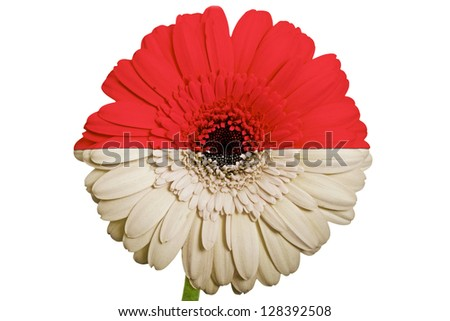 gerbera daisy flower in colors national flag of indonesia on white background as concept and symbol of love, beauty, innocence, and positive emotions