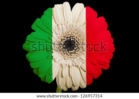 gerbera daisy flower in colors national flag of italy on black background as concept and symbol of love, beauty, innocence, and positive emotions - stock photo