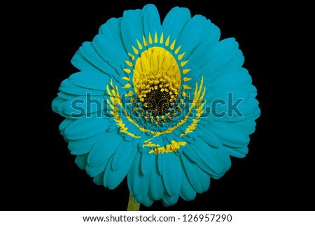 gerbera daisy flower in colors national flag of kazakhstan on black background as concept and symbol of love, beauty, innocence, and positive emotions - stock photo