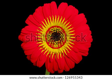 gerbera daisy flower in colors national flag of kirghizstan on black background as concept and symbol of love, beauty, innocence, and positive emotions